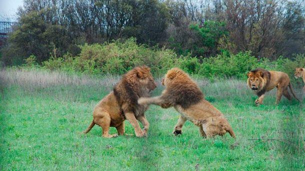 Леви у сафарі-парку