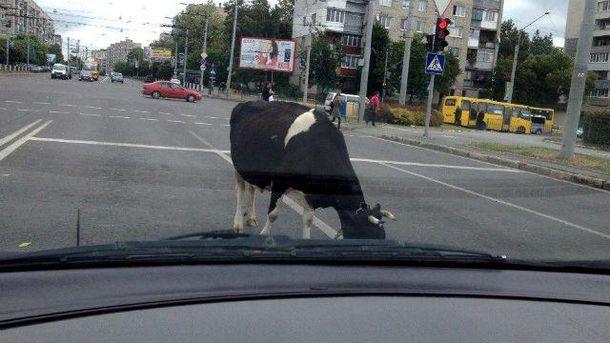 Корова у Львові