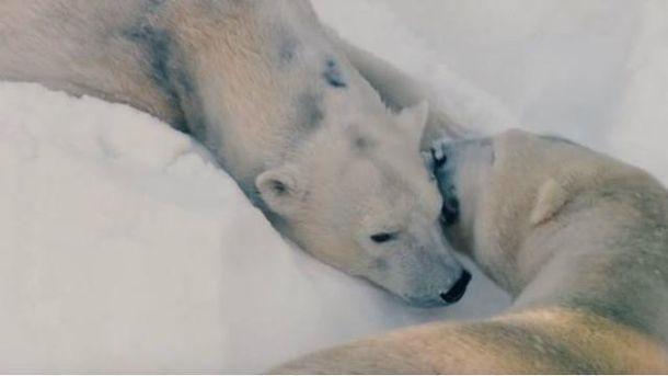 Белым медведям подарили снег