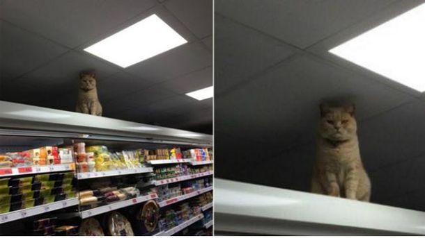 Кіт-господар супермаркету став зіркою соцмереж
