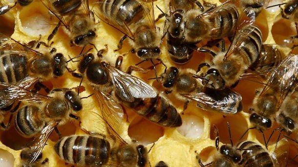Бджоли до смерті закусали чоловіка