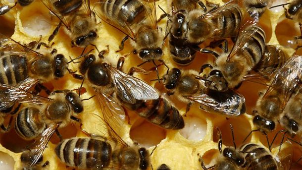 Пчелы до смерти искусали мужчину