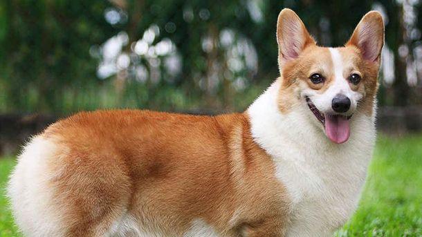 Собака породи коргі