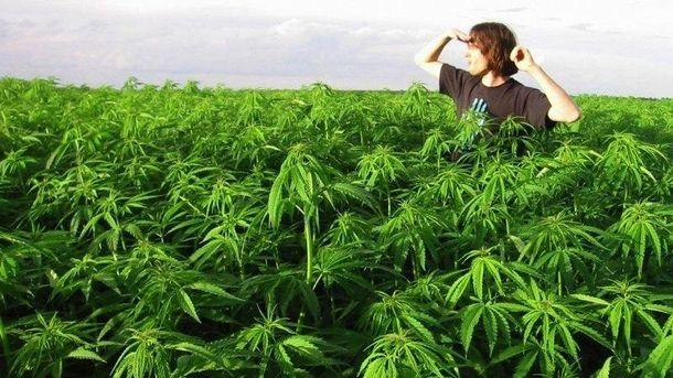 Компания уже имеет успешный опыт выращивания конопли