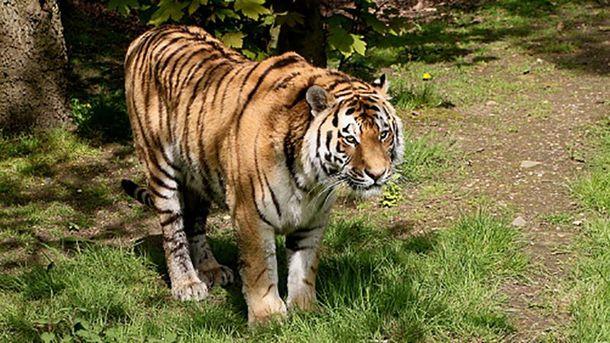 Сибірський тигр