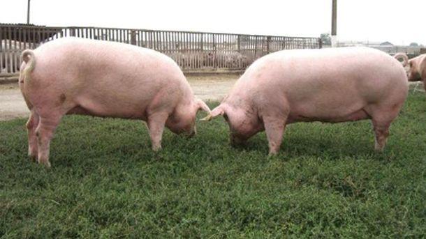 Зараженных свиней изымают
