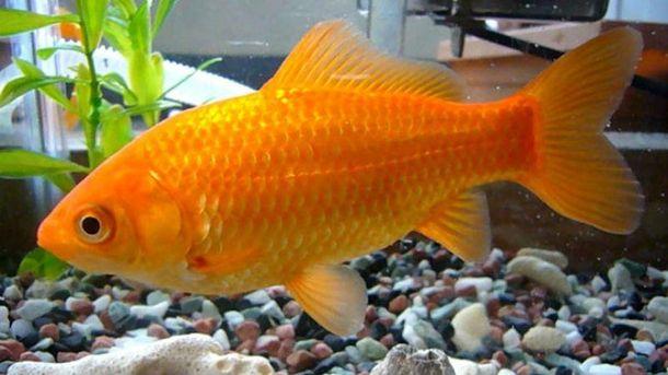 Одичавшие рыбки наносят серьезный ущерб окружающей среде