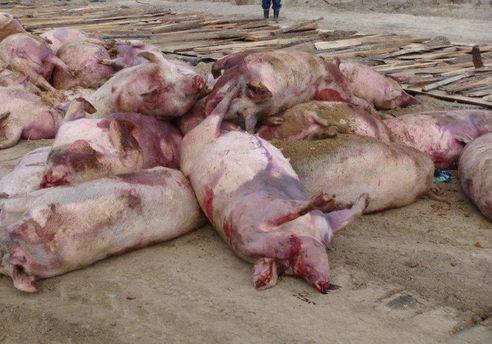 Свиньи, погибшие от АЧС
