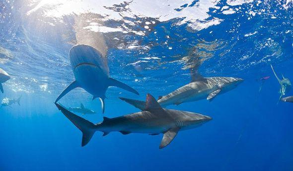 Акули поблизу берегів Гаваїв