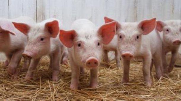 Армения опасается африканской чумы свиней из Украины