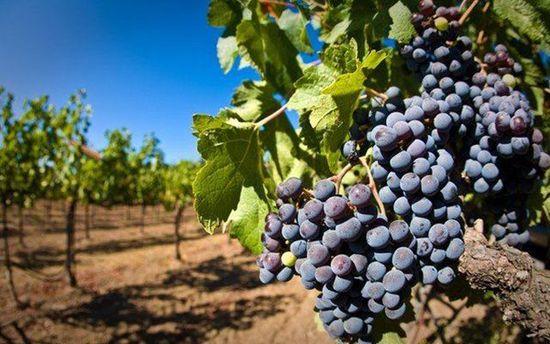 Виноград в Крыму