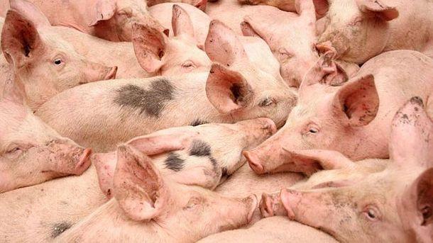 В Молдове опасаются африканской чумы свиней
