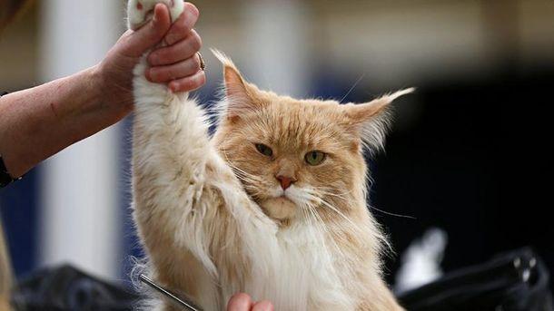 Кіт породи мейн-кун