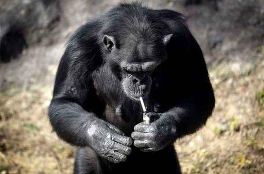 Шимпанзе курит