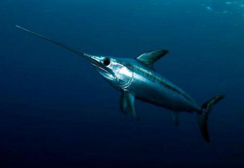 Риба-меч