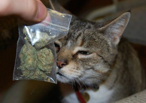 Кіт з марихуаною