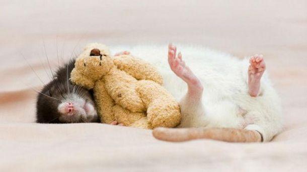 Если крыс пощекотать, они весело пищат
