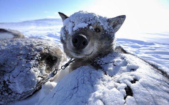 Собак замело снігом