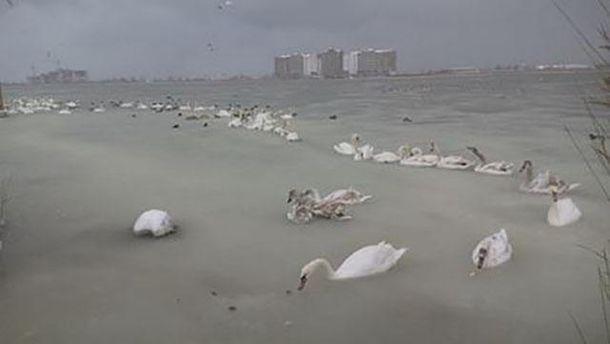 Лебеди примерзли к озеру
