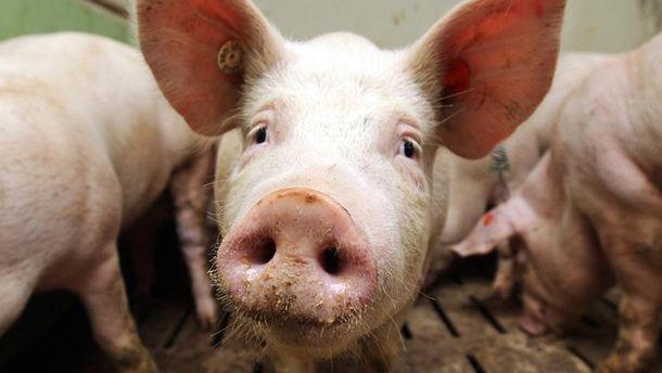 Хворі свинки