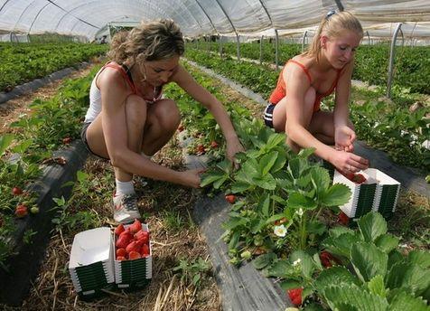 Заробітчани збирають полуницю