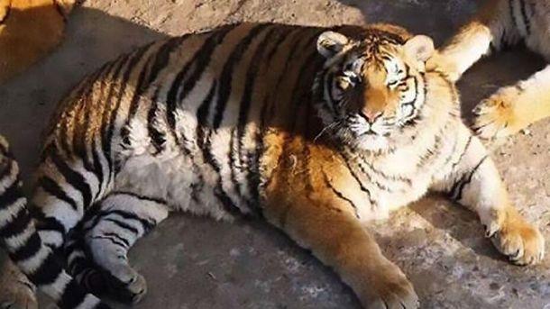 Тигр-товстун