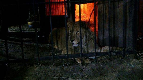 Лев хотів затягти чоловіка до себе в клітку