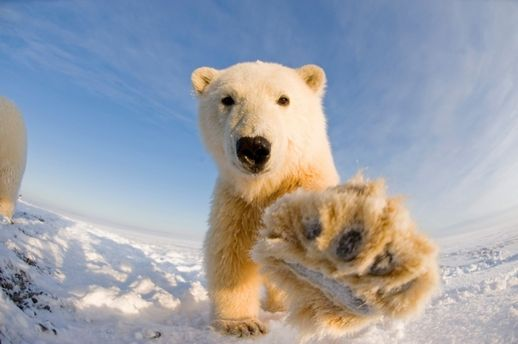 Білі ведмеді можуть зникнути