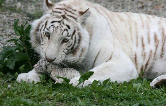 Білі тигри