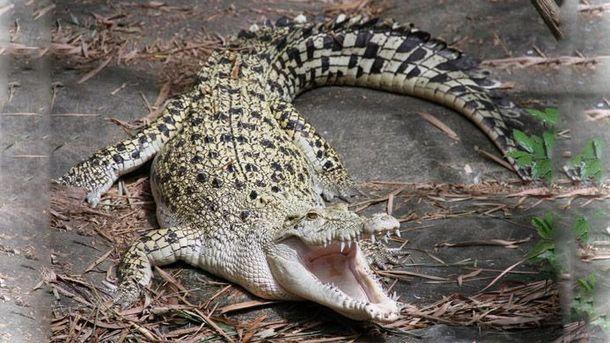 Крокодил напал на футболиста