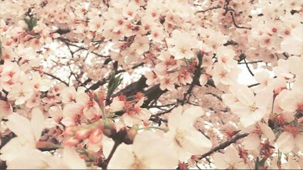Сакури зацвіли у Японії
