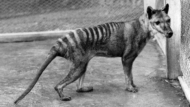Тасманский волк