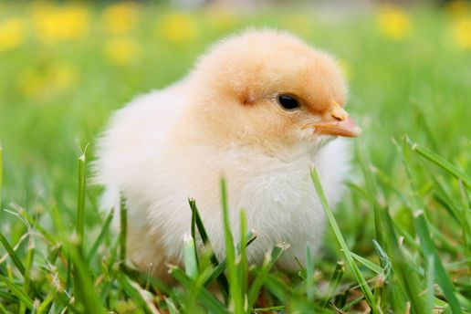 Що з'явилось перше:курка чи яйце