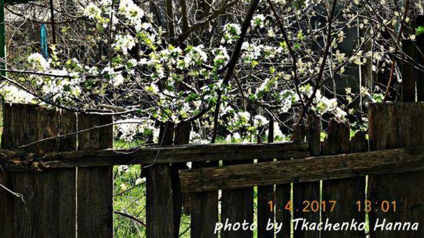 В Измаиле расцвели деревья