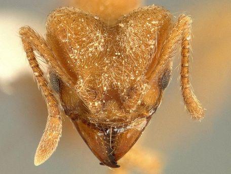 Новый вид муравьев