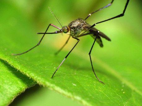 Ученые нашли новый вид комаров