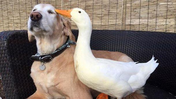 Собака та гусак