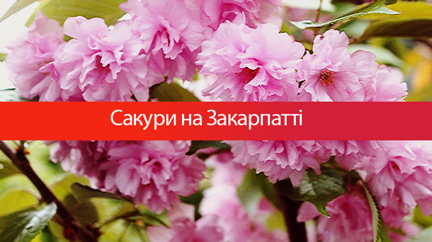 Сакури – візитна карточка Ужгорода
