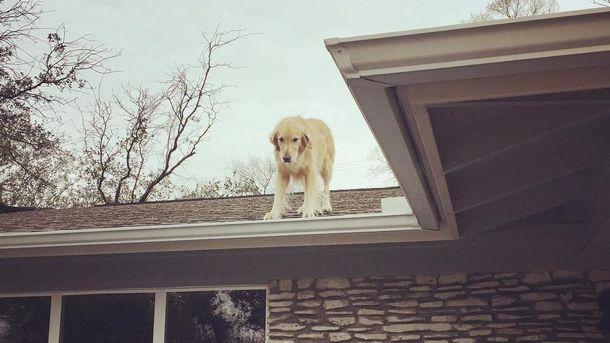 Собака Хаклберри