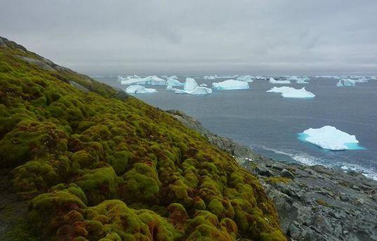 В Антарктиді з'являються рослини внаслідок глобального потепління