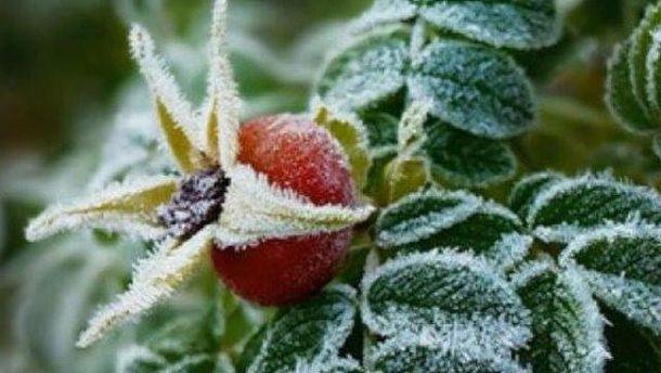 Заморозки наробили шкоди урожаю