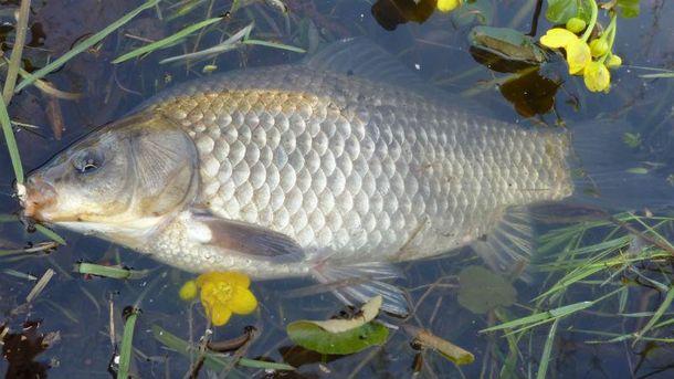 Масова загибель риби на Тернопільщині (Ілюстрація)