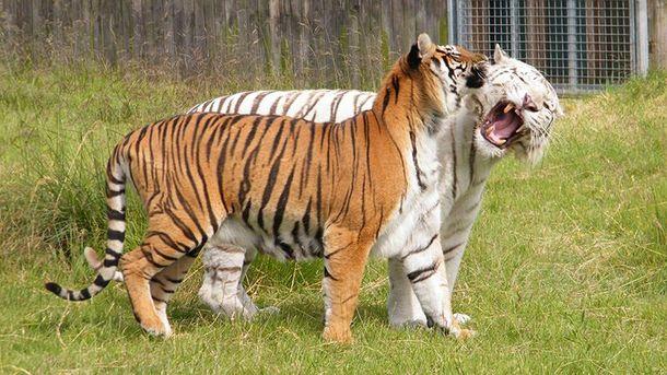 Тигры из британского зоопарка Hamerton Zoo Park