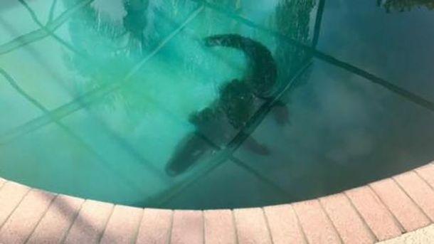 Аллигатор в бассейне