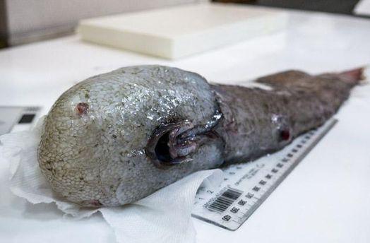 Биологи вАвстралии выловили рыбу без глаз, которая считалась вымершей