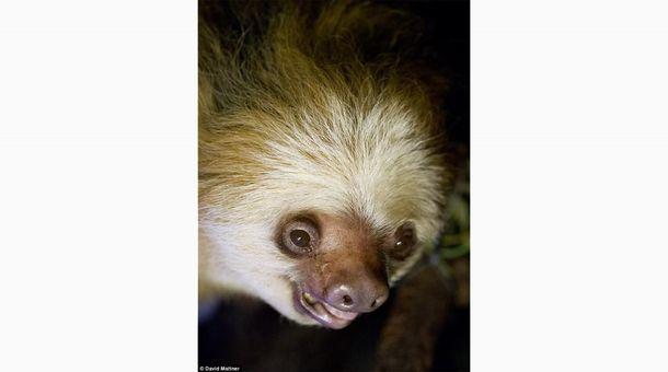 В Австралии умер старейший ленивец на Земле: фото