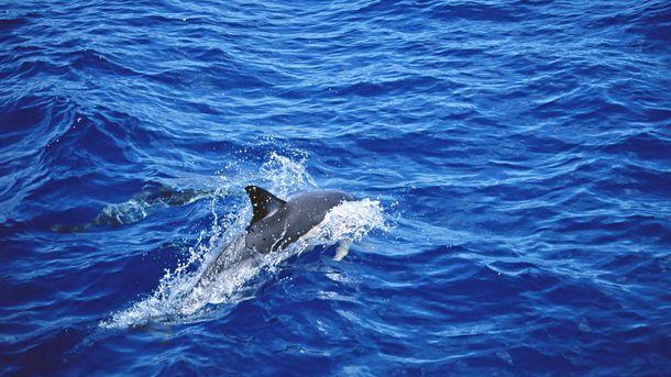 Біля Нідерландів рибалки спіймали двоголового дельфіна