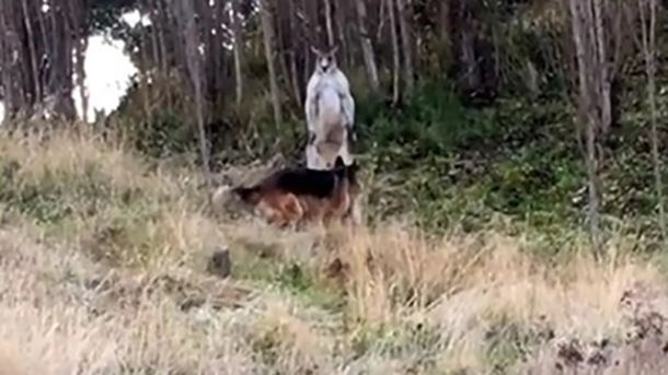 Драку кенгуру и собаки сняли на видео