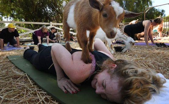 В мире становятся популярными новый тренд: занятие йогой с козами