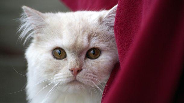 Усы помогают кошке ориентироваться в пространстве
